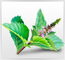 Premium Holy Basil Extract